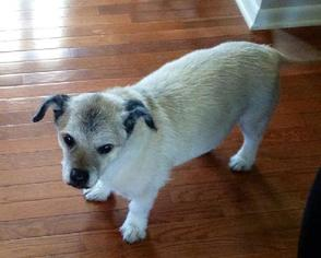 Border Terrier Dog For Adoption in Drexel, MO, USA