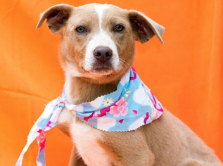 Labrador Retriever Mix Dog For Adoption in San Antonio, TX, USA