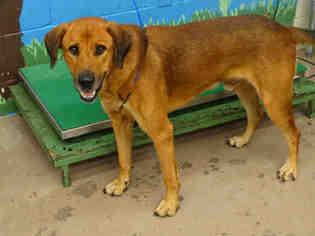 View Ad German Shepherd Dog Redbone Coonhound Mix Dog For Adoption
