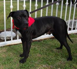 Mastiff Mix Dog For Adoption in Rancho Santa Margarita, CA