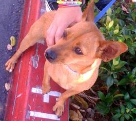 Chihuahua Mix Dog For Adoption in Porter Ranch, CA, USA