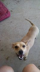 Chihuahua Mix Dog For Adoption in Midland, TX