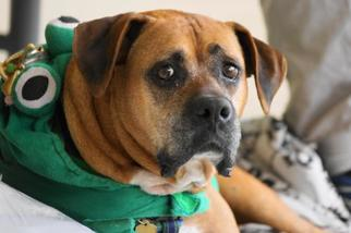 Boxer Mix Dog For Adoption in Holly Springs, NC, USA