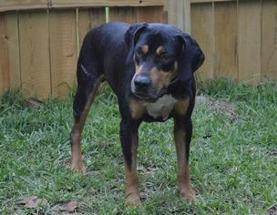 View Ad: Black and Tan Coonhound-Rottweiler Mix Dog for ...