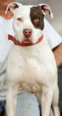 American Pit Bull Terrier Dog For Adoption in Yoder, CO