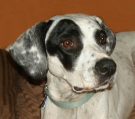 Dalmatian-Pointer Mix Dog For Adoption in Alexandria, VA
