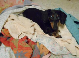 Dachshund Dog For Adoption in San Antonio, TX