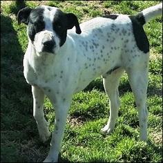 Pointer Mix Dog For Adoption in Shreveport, LA
