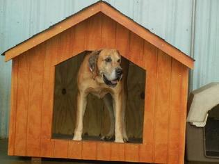 Great Dane Dog For Adoption in Anniston, AL