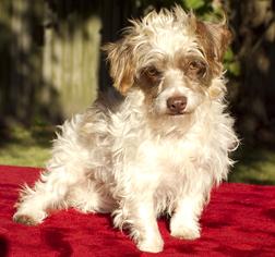 Schweenie Dog For Adoption in Santa Fe, TX