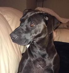 American Staffordshire Terrier-Labrador Retriever Mix Dog For Adoption in Denton, TX, USA