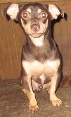 Dachshund Mix Dog For Adoption in Waldron, AR