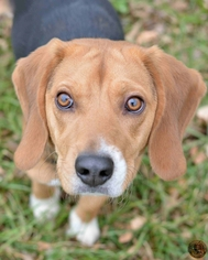 Beagle Dog For Adoption in Mt Vernon, IN