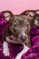 American Pit Bull Terrier Mix Dog For Adoption in Baton Rouge, LA, USA