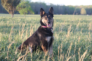 German Shepherd Dog Mix Dog For Adoption in Morrisville, NC, USA