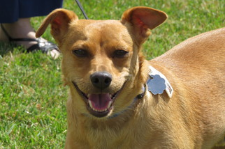 Chihuahua Mix Dog For Adoption in Santa Monica, CA, USA