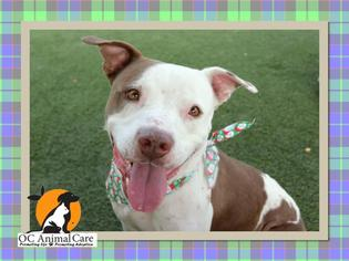 American Pit Bull Terrier Dog For Adoption in Orange, CA, USA