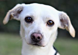 View ad doxle dog for adoption california el cajon usa doxle dog for adoption in el cajon ca usa solutioingenieria Images