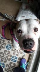 American Bulldog Dog For Adoption near 60046, Round Lake Beach, IL, USA