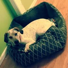Bluetick Coonhound-Treeing Walker Coonhound Mix Dog For Adoption in Enid, OK, USA