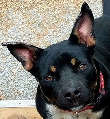 Rottweiler Mix Dog For Adoption in Kansas City, MO, USA