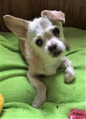 Small Chihuahua Mix