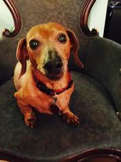 Dachshund Dog For Adoption in Pearland, TX, USA