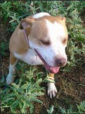 Beabull Dog For Adoption in Chandler, AZ