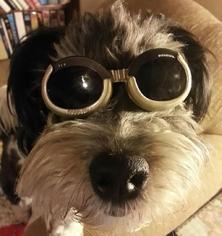 Shih-Poo Dog For Adoption in Fresno, CA, USA