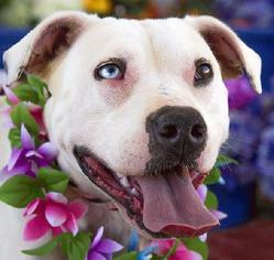 Dogo Argentino Mix Dog For Adoption in Acton, CA, USA