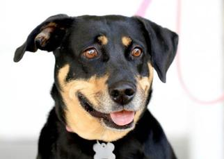 Black and Tan Coonhound-Doberman Pinscher Mix Dog For Adoption in Caldwell, NJ, USA