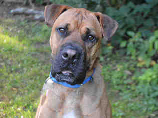 Boxer-Chinese Shar-Pei Mix Dog For Adoption in Pittsburgh, PA, USA