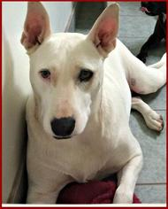 Bull Terrier Mix Dog For Adoption in Queen Creek, AZ, USA