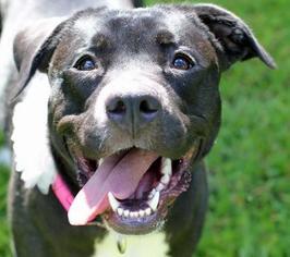 Labrador Retriever Mix Dog For Adoption in Boston, MA
