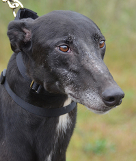 Greyhound Dog For Adoption in Minneapolis, MN, USA