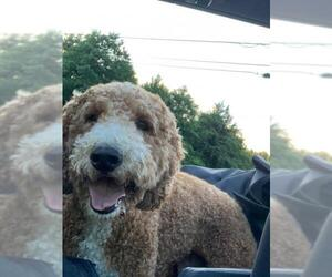 Goldendoodle Dogs for adoption in Pacolet, SC, USA