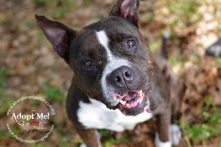 American Staffordshire Terrier Dog For Adoption in Fort Lauderdale, FL, USA