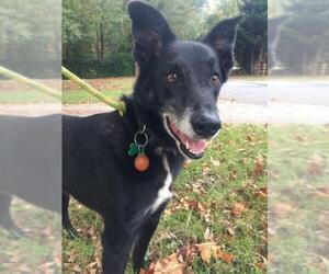Border Collie-Unknown Mix Dogs for adoption in Charlotte, NC, USA