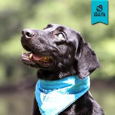 Labrador Retriever Dog For Adoption in Temple, GA