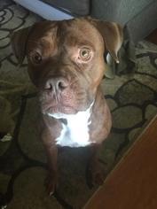 Boxer-Mastiff Mix Dog For Adoption in Livonia, MI