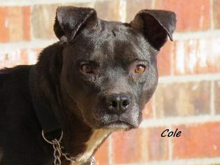 American Pit Bull Terrier Dog For Adoption in Oklahoma City, OK