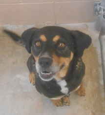 Rottweiler Mix Dog For Adoption in Hilton Head, SC, USA