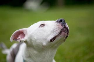 American Pit Bull Terrier Mix Dog For Adoption in Ann Arbor, MI, USA
