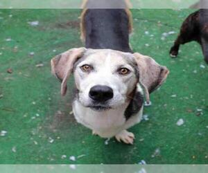 Basset Hound Dogs for adoption in Fort Walton Beach, FL, USA