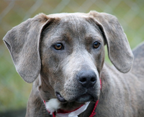 View Ad Plott Hound Weimaraner Mix Dog For Adoption Near North