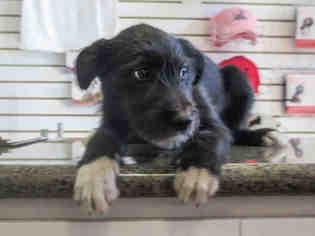 Bordoodle Dogs for adoption in Ojai, CA, USA