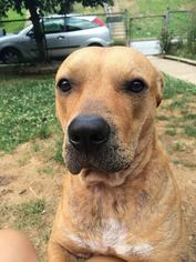 American Staffordshire Terrier Mix Dog For Adoption in White Marsh, MD