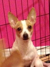 Rat-Cha Dog For Adoption in San Antonio, TX, USA