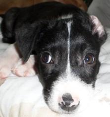 Borador Dog For Adoption in San Antonio, TX, USA