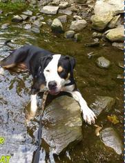 View Ad American Bulldog Greater Swiss Mountain Dog Mix Dog